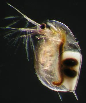 Gemeiner Wasserfloh (Daphnia pulex) filtert und reinigt das Wasser